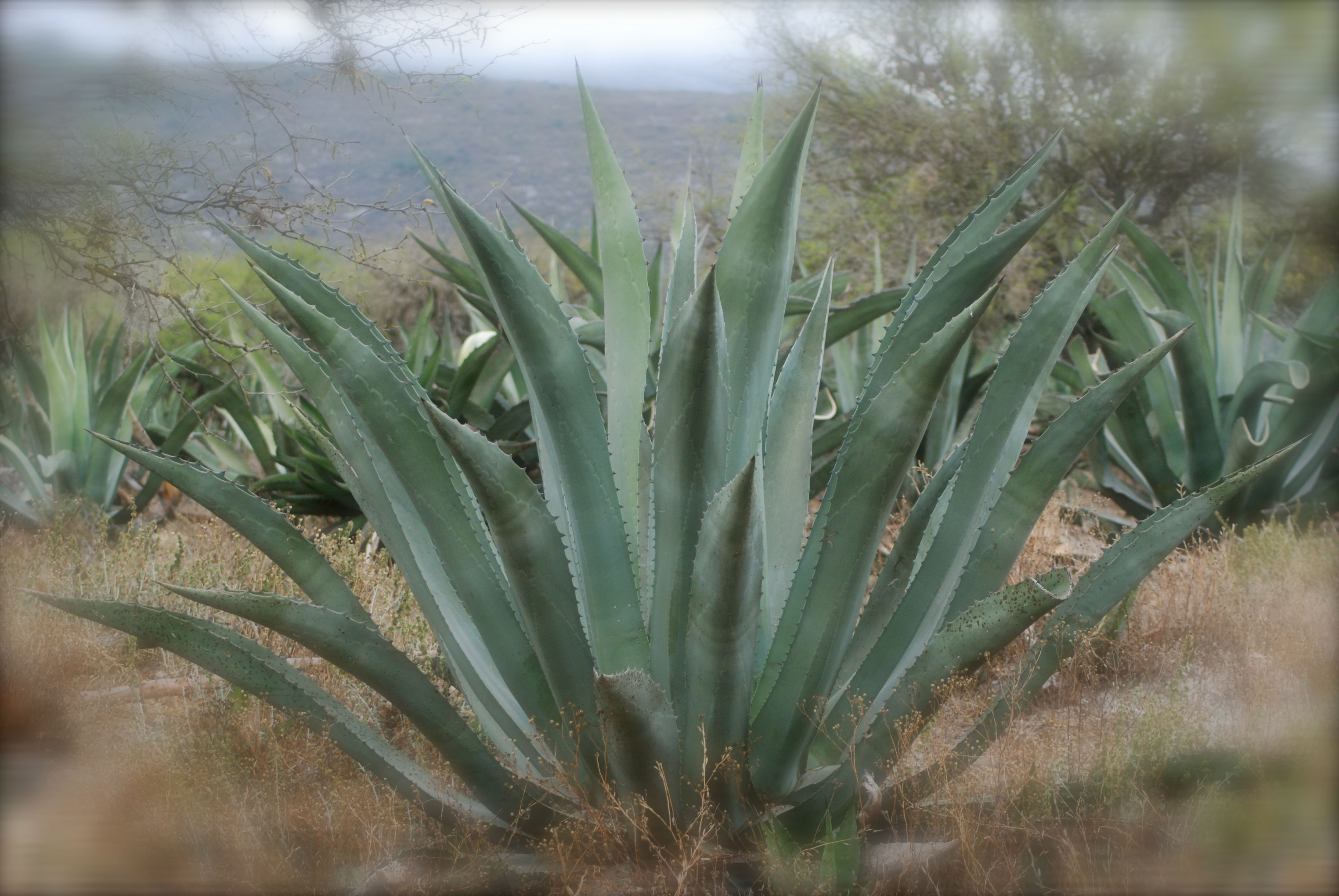 white agave plant